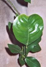 D 39 autres ph nom nes partage international - Plante longue feuille pointue ...